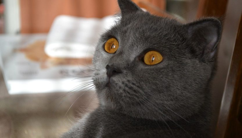 Cat Orange Eyes Gray Cat Pet Cute