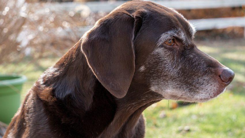 Chocolate Labrador Lab Labrador Old