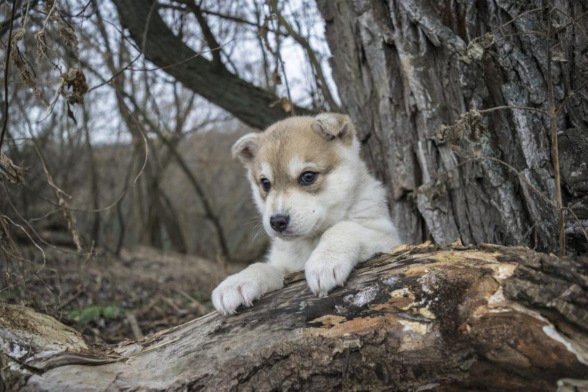 Dog Each Puppy Portrait Husky